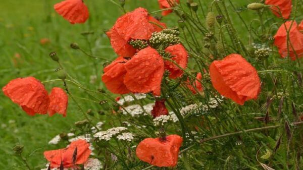 Poppy  flower  nature video