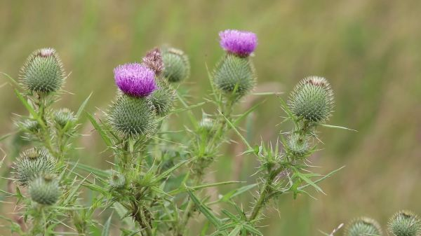 Thistle  barb  meadow video