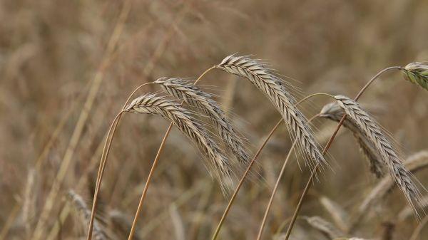 Rye  spikes  bread video