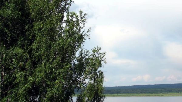 Birch  foliage  wind video
