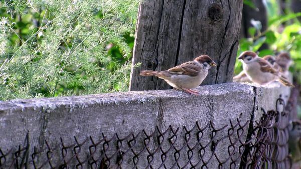 Sparrows  birds  living nature video