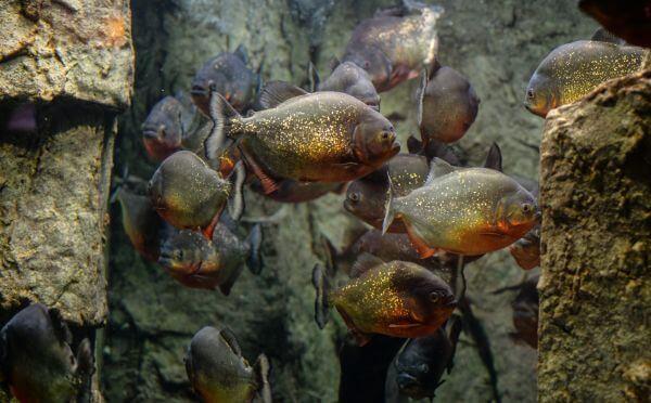 Piranhas photo