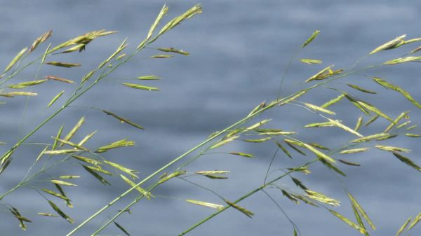 The grass above the river  krupnyj plan  water video