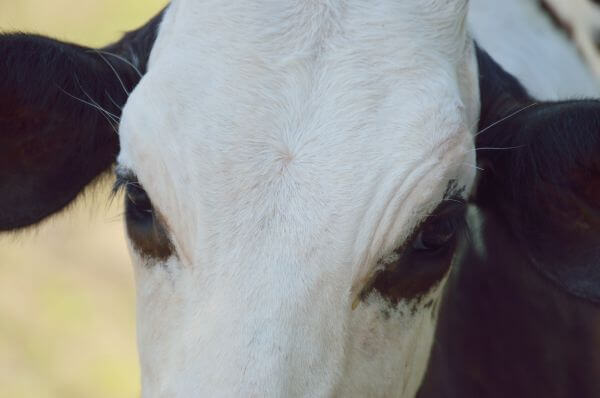 cow close up photo