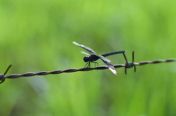 black dragonfly photo