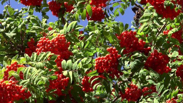 Berry  rowan  plant video
