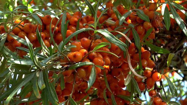 Berry  sea-buckthorn  closeup video