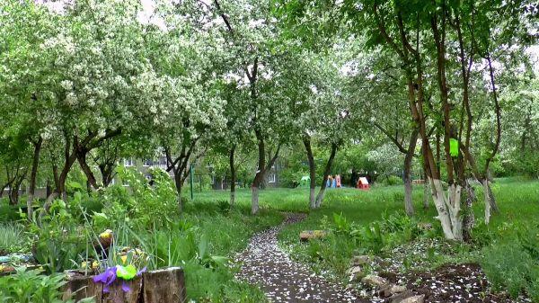 Apple tree  blooms  spring video