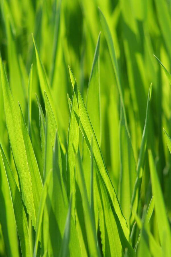Blade of grass photo