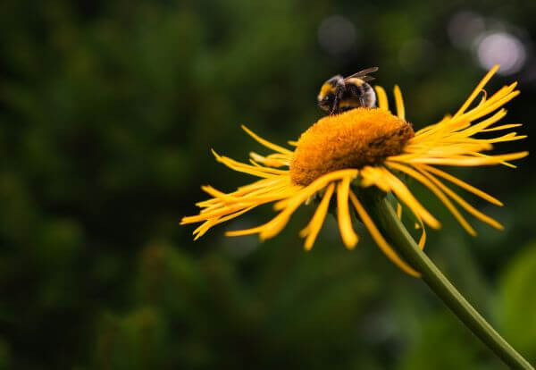 Bee on Yellow Flower photo