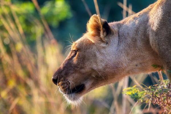 A Lioness photo