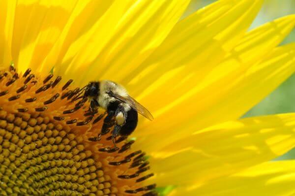Bee on Yellow Flower photo