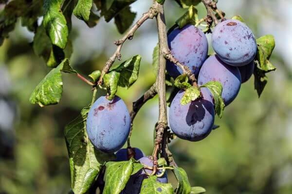 Blue violet photo