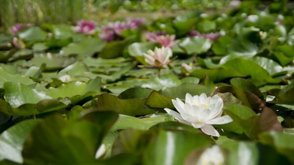 Aquatic plant photo