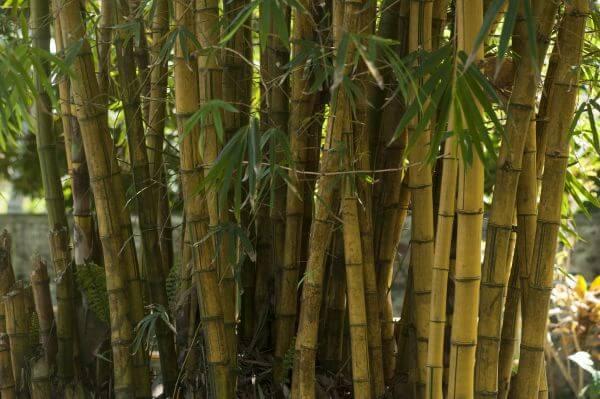 Bamboo trees photo