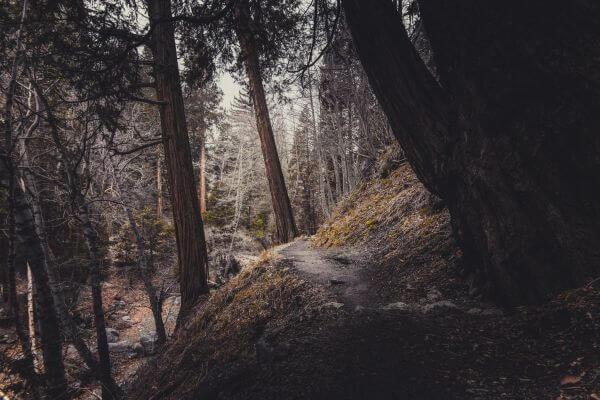 Conifers photo