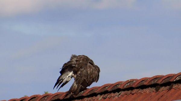 Raptor  golden eagle  bird of prey video