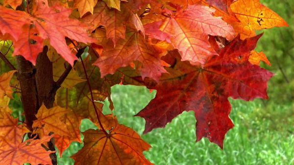 Sheet  autumn  maple video