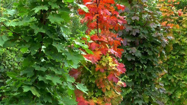 Autumn  sheet  maple video