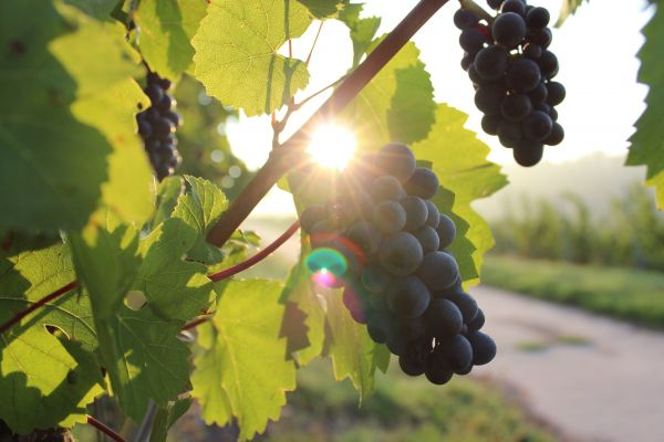 Black Grapes Vine Summer photo