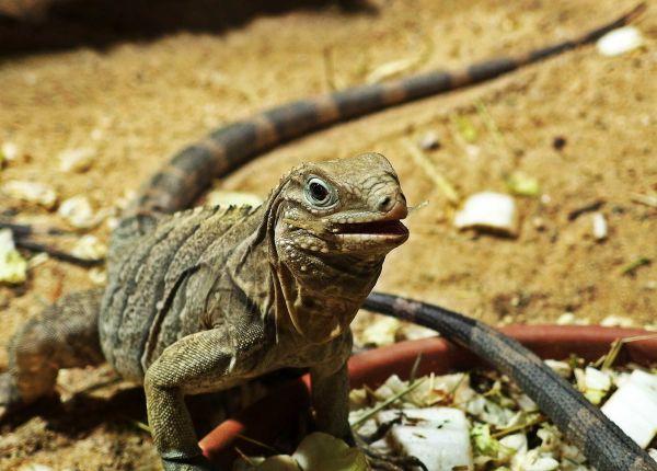 Cuban Rock Iguana Reptile Desert photo