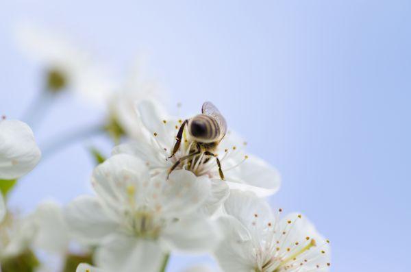 Bee White Flower Blue photo