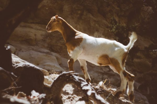 Brown White Mountain Goat photo