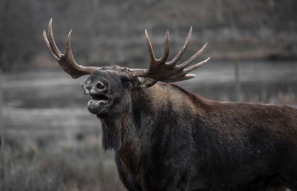 Large Brown Moose photo