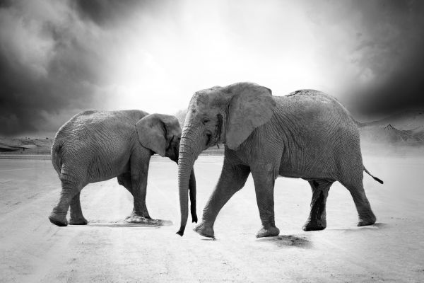 Grayscale Elephant Animals Africa photo
