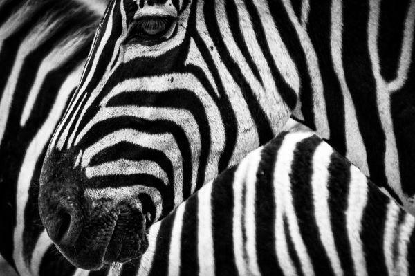 Black White Zebra photo