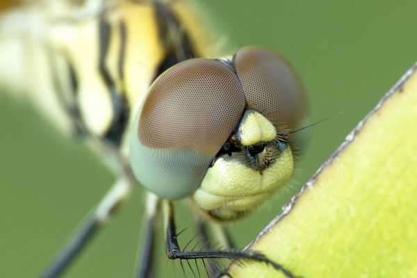 Yellow Black Dragonfly Closeup photo