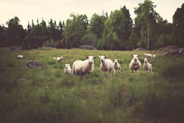 Sheep Field photo