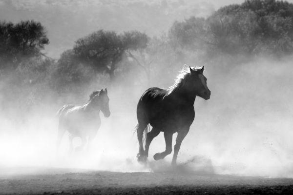Running Horses Black White photo