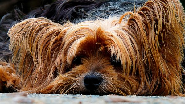 Long Haired Dog Ginger photo