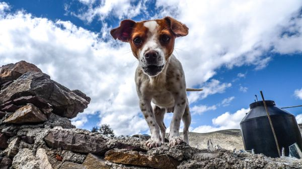 Small Dog White Brown photo