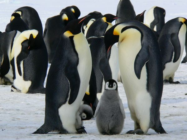 Family Penguins Ice Polar photo