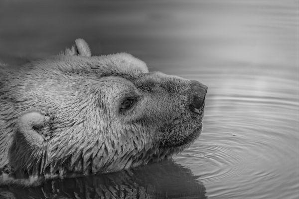 Black White Bear Swimming photo