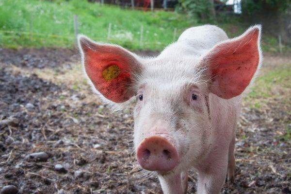 Farm Pig Big Ears photo
