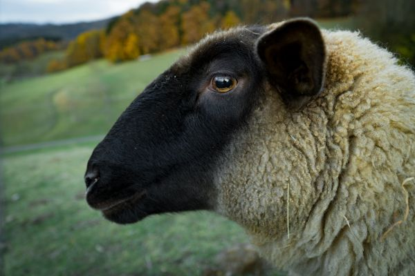Closeup Sheep Farm photo