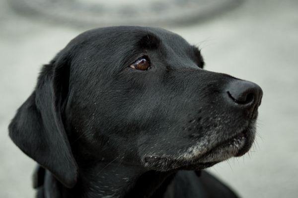 Closeup Sad Black Dog photo