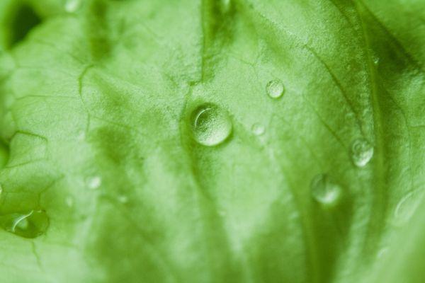Green Leaf Morning Dew photo