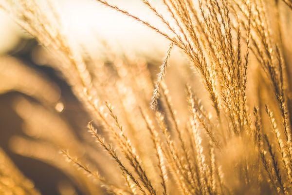 Farm Sun Glow Wheat photo