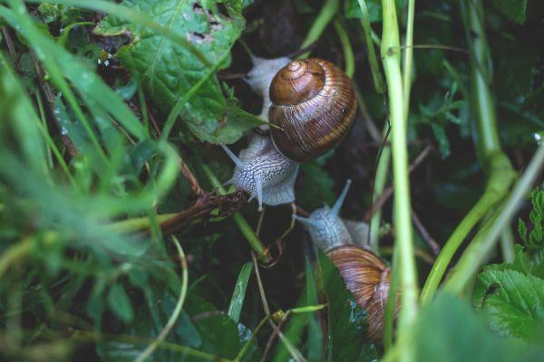 Garden Snails on Leaves photo