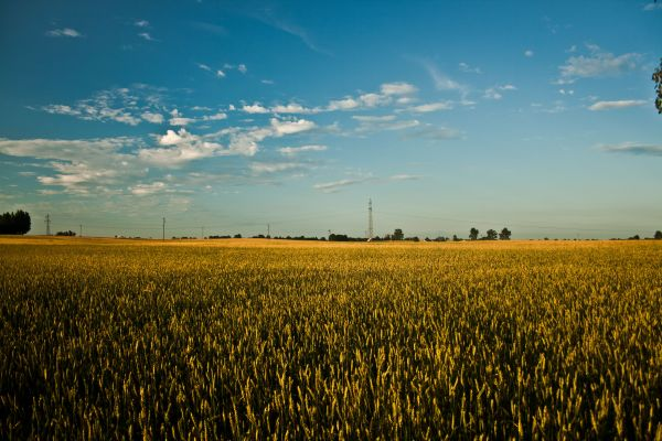 Blue Sky Field of Grain photo