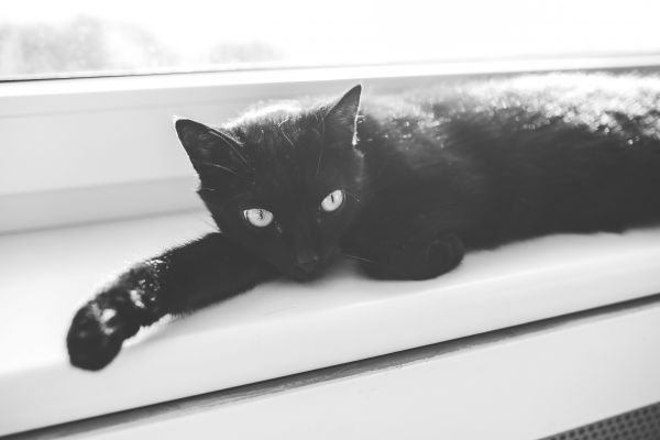 Black Cat in Black and White photo