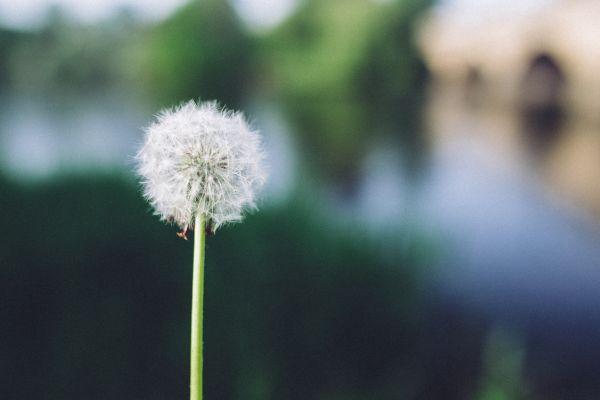 Dandelion in the Daytime photo