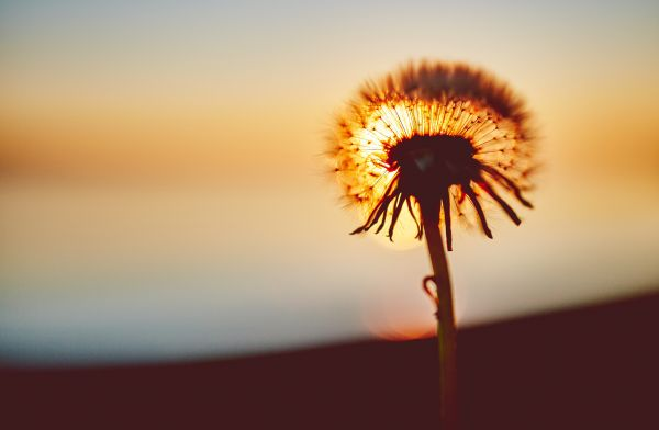Dandelion Silhouette at Sunset photo