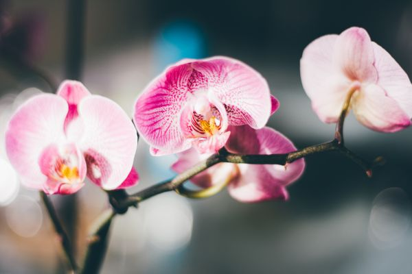 Pink & White Orchid Close-up photo