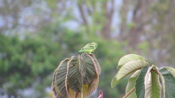 Budgie  parrot  nature video