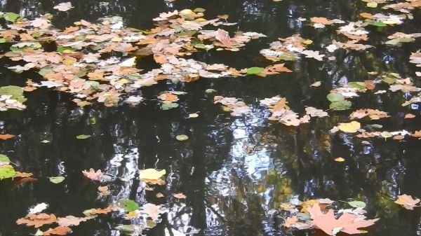 The leaves on the water  leaves on the surface of the  the current of the river video